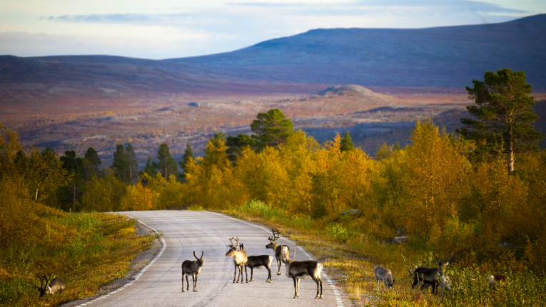 Some of Finnish Lapland's most popular residents enjoy their autumnal surrounds.