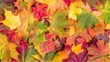 In addition to pigments, autumn leaves contain many beneficial compounds, such as phenols, lignin, carbohydrates and protein.