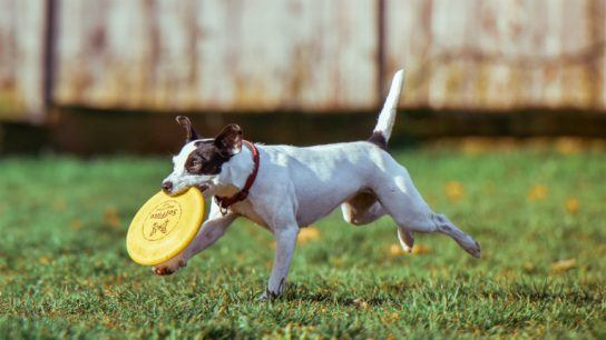 The COPLA Scaffold implant gives new life to dogs and horses by boosting natural healing mechanisms.
