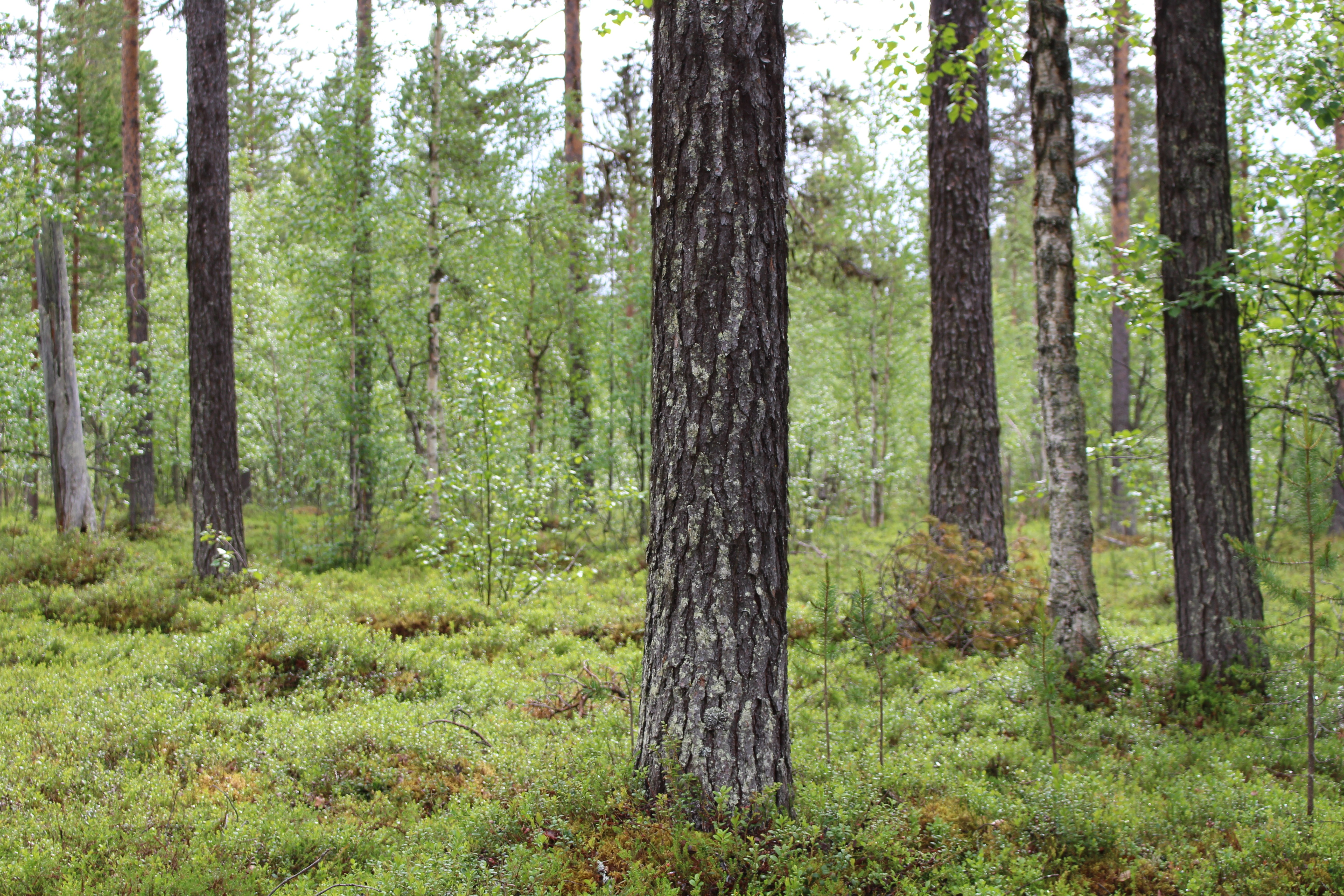 Halipuumetsä (Halipuu forest) is an important place for the whole Raekallio family.