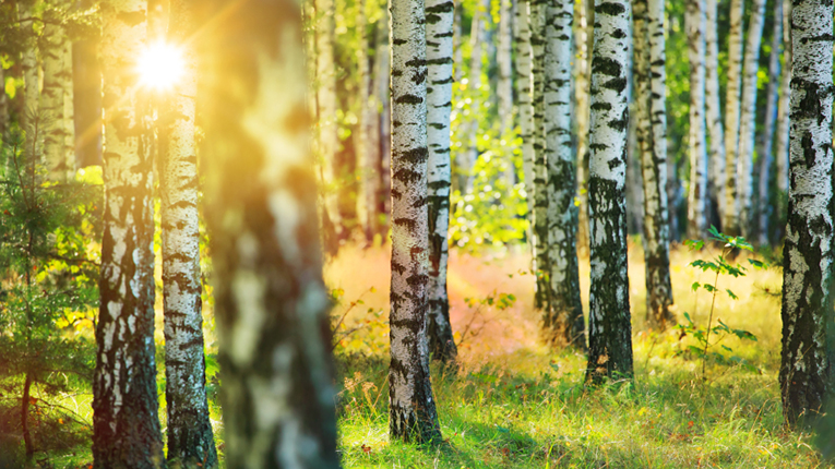 Nordic Koivu has been collecting birch sap from the trees and exporting it for over a decade.