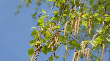 Currently, the application provides forecasts on birch pollen, but in the near future it will be expanded to include alder, hay and mugwort.
