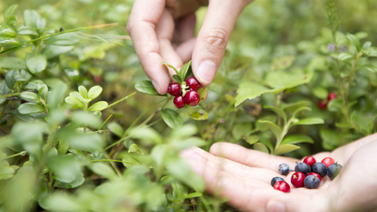 All the berries that Roberts Berrie uses come from the taiga and other northern areas of growth not too far from Finland, wherein the flavonoids are the finest.