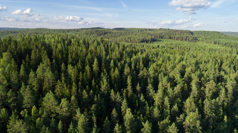 An aerial view of a coniferous forest.