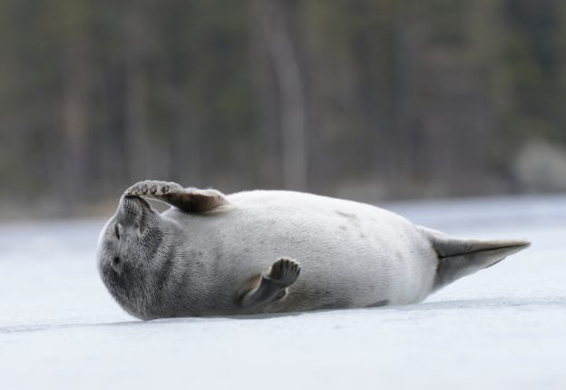 baby seal laying on ice