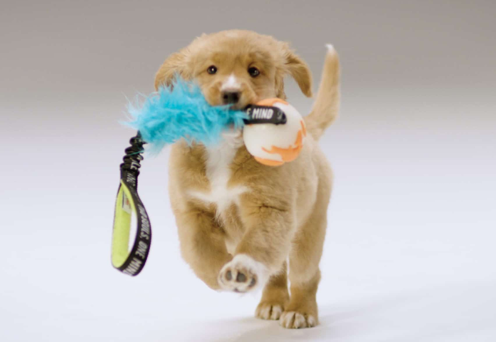 puppy running with leash in its mouth