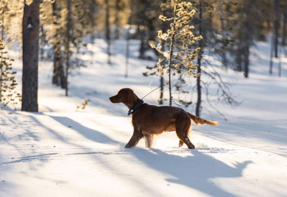 A dog in the woods wearing a tracker