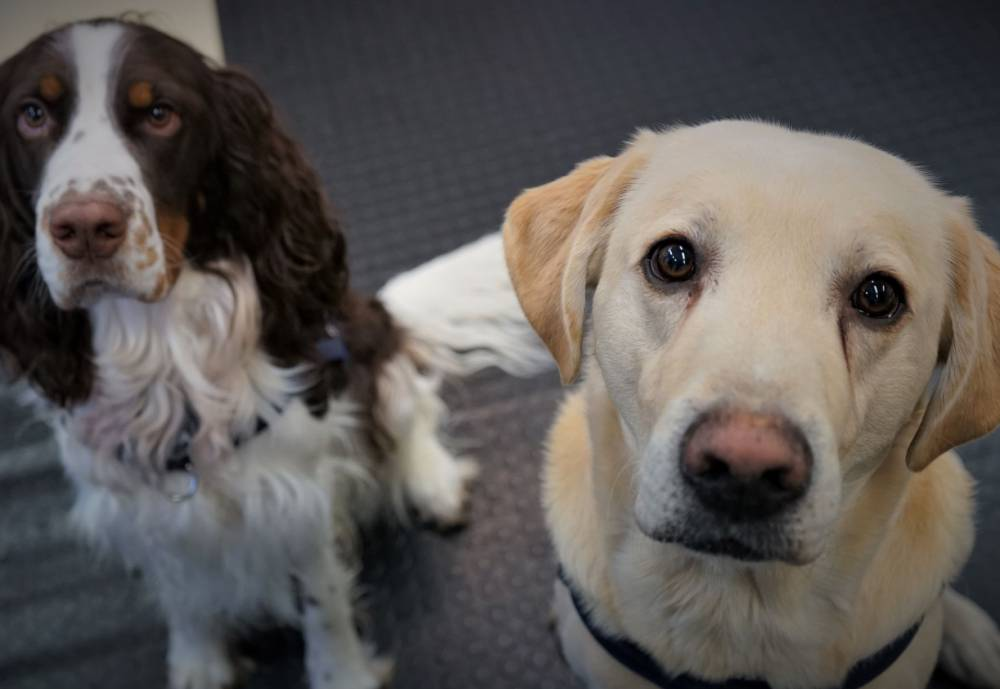 A pair of sniffer dogs look at camera